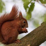 squirrel (Sciurus)
