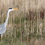 Grey Heron (Ardea cinerea) | Graureiher
